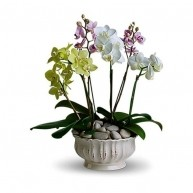 Orchidee Regali